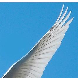 白鳥の翼-1
