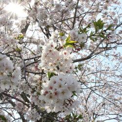 満開の桜の中で -御前崎市塩原新田U様邸- 地鎮祭