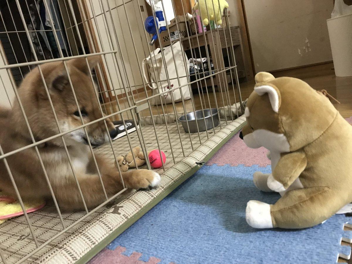 "我が家のスーパーアイドル 柴犬 ""さぶ"""